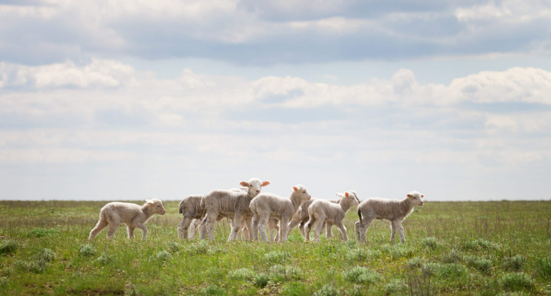 Lambs in the pasture under a blue sky with clouds